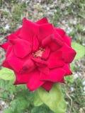 Floración de Rose roja Fotos de archivo