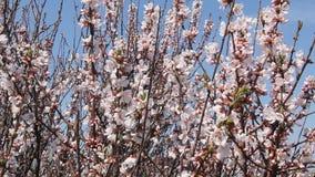 Floración de Sakura
