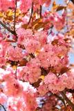 Floración de Sakura Fotos de archivo libres de regalías