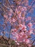 Floración de Sakura Imagen de archivo