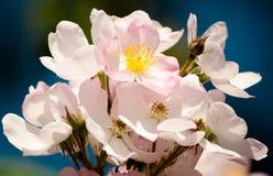 Floración de Springtim en púrpura Fotografía de archivo