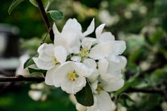 Floración de un Apple-árbol por la tarde caliente de la primavera imagen de archivo