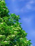 Floración de un aucuparia ordinario L del Sorbus de la ceniza de montaña Contra el cielo azul Imagenes de archivo