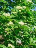 Floración de un aucuparia ordinario L del Sorbus de la ceniza de montaña Contra el cielo azul Imagen de archivo