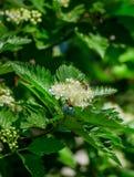 Floración de un aucuparia ordinario L del Sorbus de la ceniza de montaña Contra el cielo azul Imagen de archivo libre de regalías