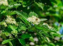 Floración de un aucuparia ordinario L del Sorbus de la ceniza de montaña Contra el cielo azul Fotografía de archivo libre de regalías