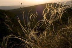 Floración de un estípite plumoso (stipa) Fotos de archivo