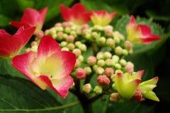 Floración de un hydrangea imágenes de archivo libres de regalías