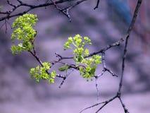 Floración de un manzano en un árbol Fotografía de archivo libre de regalías