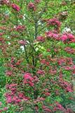 Floración de un paño mortuorio rojo sangre del sanguinea del Crataegus del espino imágenes de archivo libres de regalías