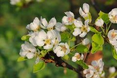 Floración de una pera Imágenes de archivo libres de regalías