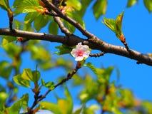 Floración del árbol Fotografía de archivo libre de regalías