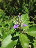 Floración del árbol casto Imagenes de archivo