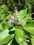 Floración del árbol casto Imágenes de archivo libres de regalías