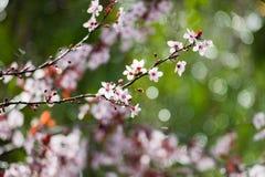Floración del árbol de ciruelo de cereza Rama de un cerasifera púrpura del Prunus del árbol de ciruelo de la hoja Fotos de archivo
