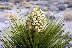 Floración del árbol de Joshua Imagen de archivo libre de regalías