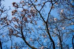 Floración del árbol de la magnolia Fotos de archivo