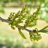 Floración del árbol de pistacho Imágenes de archivo libres de regalías