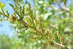 Floración del árbol de pistacho Fotografía de archivo