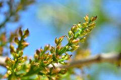 Floración del árbol de pistacho Foto de archivo
