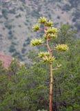Floración del agavo Foto de archivo