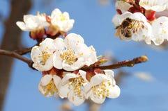 Floración del albaricoque Imagenes de archivo