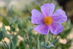 Floración del albidus del Cistus (la roca subió, Sun subió) Fotografía de archivo