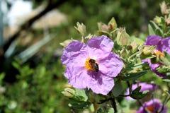 Floración del albidus del Cistus (la roca subió, Sun subió) Foto de archivo libre de regalías