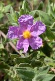 Floración del albidus del Cistus (la roca subió, Sun subió) Imágenes de archivo libres de regalías