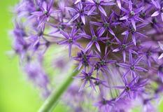 Floración del allium Fotografía de archivo libre de regalías