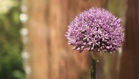 Floración del allium fotos de archivo libres de regalías