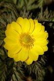 Floración del amurensis de Adonis Fotografía de archivo