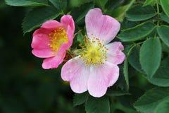 Floración del arbusto color de rosa salvaje Imágenes de archivo libres de regalías