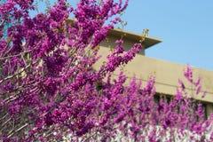 Floración del arbusto de lila Foto de archivo
