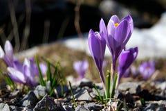Floración del azafrán imagenes de archivo