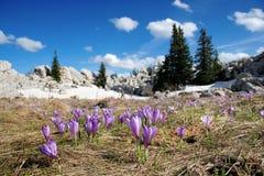 Floración del azafrán en el resorte Fotografía de archivo libre de regalías