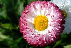 Floración del Bellis foto de archivo