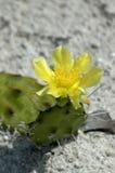 Floración del cacto de la playa foto de archivo