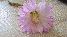 Floración del cactus Foto de archivo libre de regalías