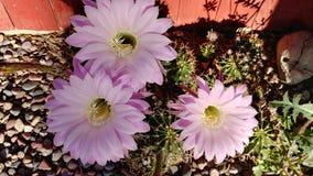 Floración del cactus de pascua fotografía de archivo