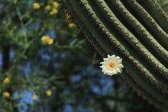 Floración del cactus de Sahuaro Fotos de archivo libres de regalías