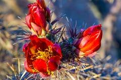 Floración del cactus de Staghorn Imagen de archivo libre de regalías