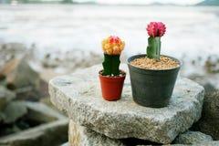 Floración del cactus en las rocas fotografía de archivo