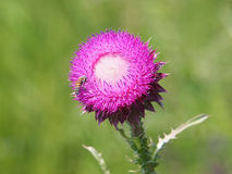Floración del cardo de almizcle, Carduus Nutans Foto de archivo libre de regalías