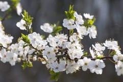 Floración del ciruelo de cereza Foto de archivo libre de regalías