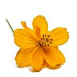 Floración del Coreopsis Fotografía de archivo libre de regalías
