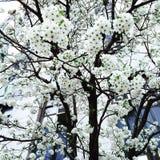 Floración del cornejo Foto de archivo