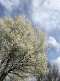 Floración del cornejo del tiempo de primavera imagenes de archivo