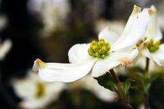 Floración del cornejo en primavera Imagenes de archivo