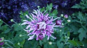 Floración del crisantemo Imagen de archivo libre de regalías